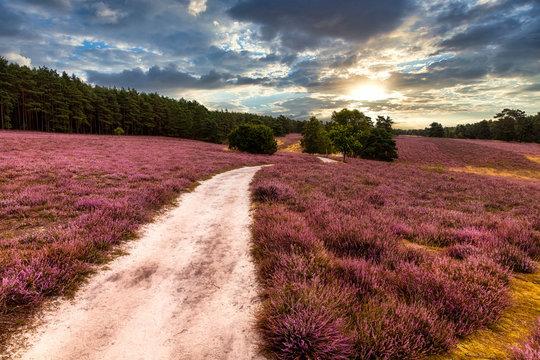 Die Provence in Niedersachsen: Heideblüte in der Lüneburger Heide (Misselhorner Heide, Heidepanoramaweg)