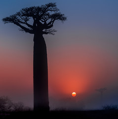 silhouette of a baobab tree at sunset