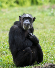 Monkey animal stock photos.  Monkey animal sitting with cross arms with a blur background in its environment and habitat.