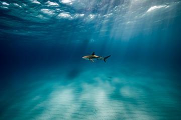 Blue Water Shark
