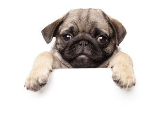 Wall Mural - Pug Puppy above banner