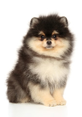 Wall Mural - Pomeranian puppy sits on a white background