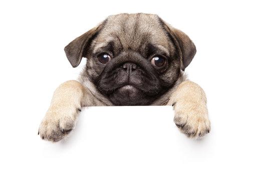 Pug Puppy above banner