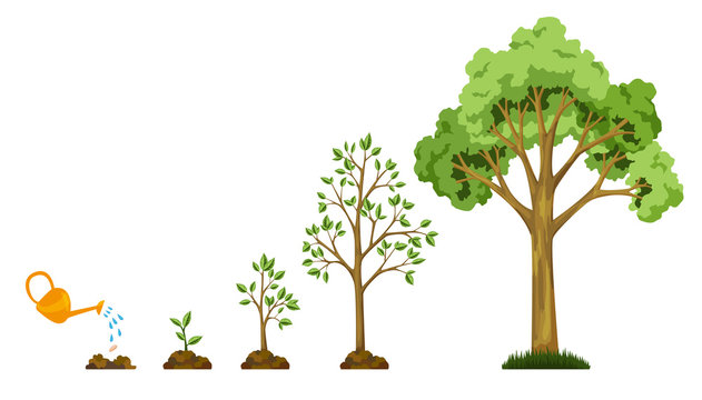 Stages growth of tree from seed. Watering the plants. Collection of trees from small to large. Green tree with leaf growth diagram. Business cycle development