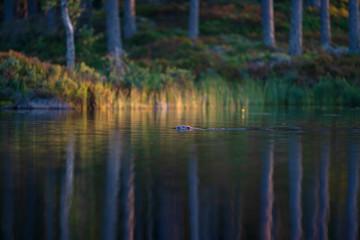 Eurasian beaver swimming in water
