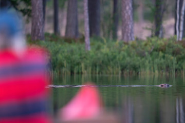 One person watching a beaver from a canoe
