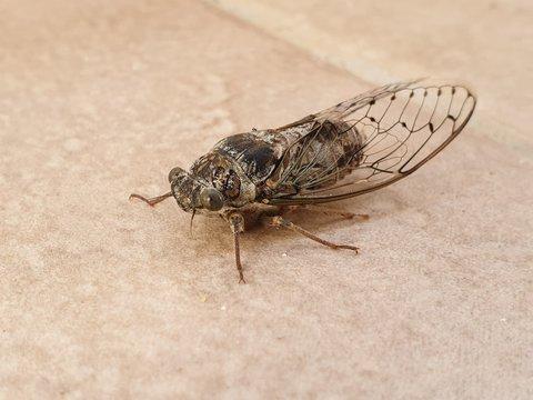Die Zikade