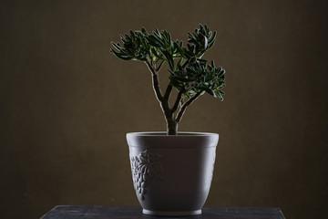 Crassula ovata, bonsai tree. Houseplant crassula ovata