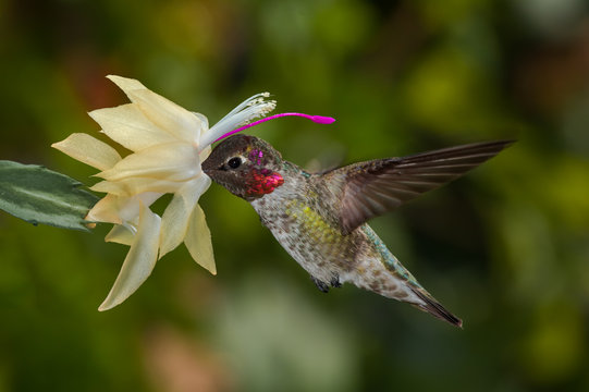 Anna's Hummingbird (Calypte anna) male in garden, Los Angeles, California, USA