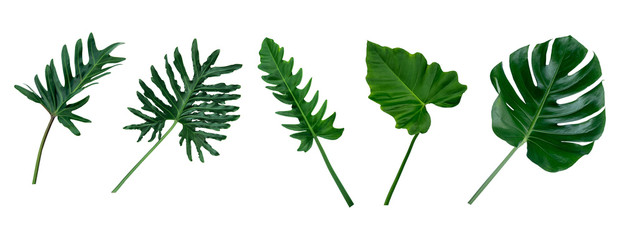 Monstera and Fern plant leaves, the tropical evergreen vine isolated on white background,clipping path.