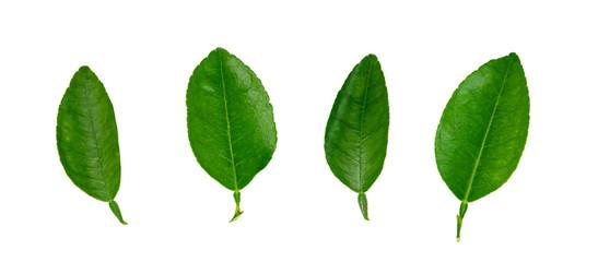 leaf  lemon isolated on white background ,Green leaves pattern