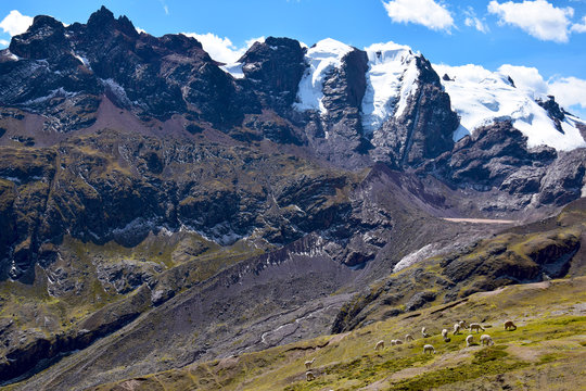 Alpacas near the Vilcanota Mountain Range in Peru