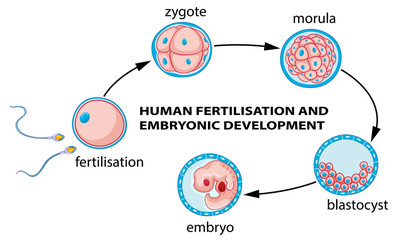Self adhesive Wall Murals Kids Human fertilization and embryo development