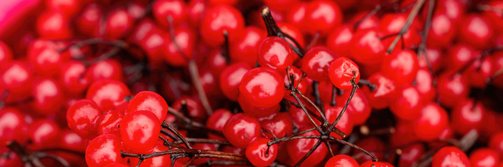 Red viburnum (guelder rose). Wide panoramic texture with red berries of viburnum on the twigs. Harvest the fruits of viburnum. Close-up. Natural background is perfect for design.