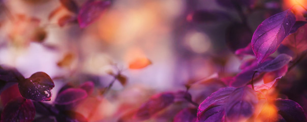 Autumn natural background with blue, purple, lilac, red leaves, fall bright landscape, banner, place for text