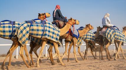 Jockeys taking the camels for walk in the race tracks. Camel Race