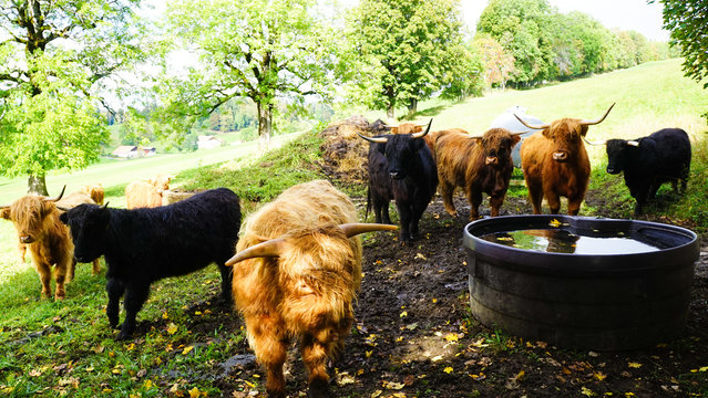 Herd of different colored yaks in a farm