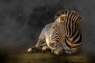 Papiers peints Zebra zebra laying on the ground