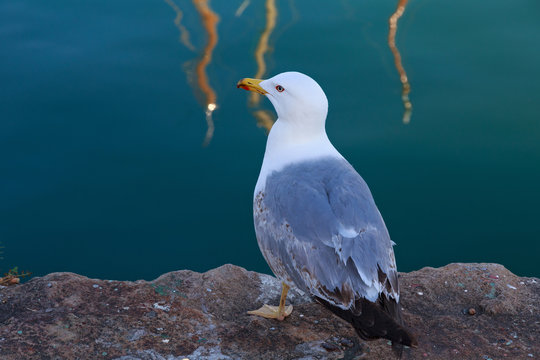 The yellow-legged gull (Larus michahellis) sit on the pier near sea.