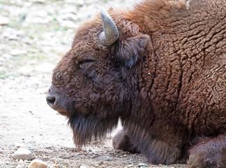 Fototapeta Large bison eating
