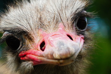 Close up photo of a ostrich bird in a zoo