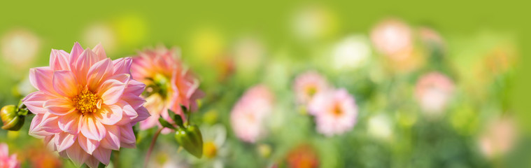 Photo sur Plexiglas Dahlia Beautiful dahlia flowers on a sunny day - Late summer background - Autumn