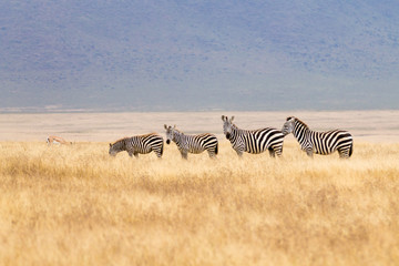Zebras on Ngorongoro Conservation Area crater, Tanzania
