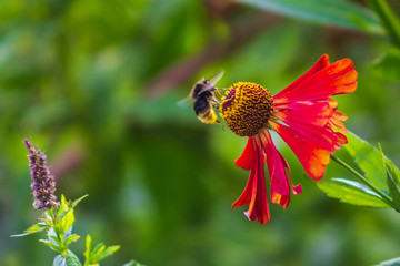 bee has landed and is sitting on a helenium flower in the garden nectar