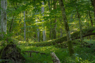 Dense forest floor of primeval forest, decomposing of fallen trees, Bialowieza, Poland