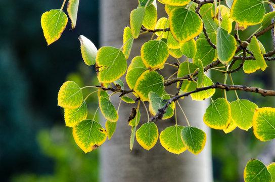 Aspen leaves starting to turn yellow around the edges.