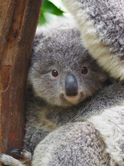 Wall Murals Koala A Closeup Portrait of a Captivating Darling Baby Koala with Bright Twinkling Eyes.