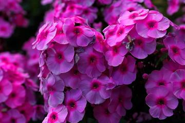 Piękne kwiaty floks kwitnące latem w ogrodzie botanicznym