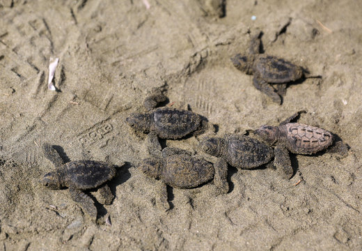 Newly hatched baby sea turtles make their way into the Mediterranean Sea for the first time, on a beach in Pervolia