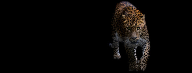 Template of a panther with a black background