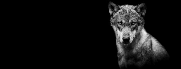 Template of a grey wolf with a black background