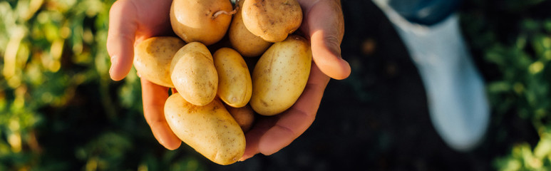 partial view of rancher holding fresh, organic potatoes in cupped hands, horizontal concept - fototapety na wymiar