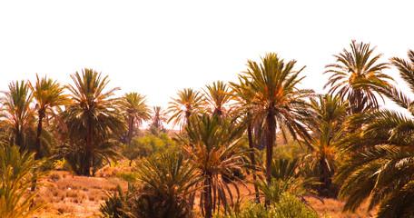 Photo sur Plexiglas Palmier palmier dattier djerba guellala tunisie