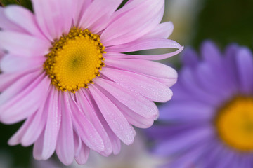 Blooming asters-daisies in the dew on the flowerbed, background, closeup, blur, selective focus.