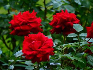 Fototapeta Czerwone róże z kolcami obraz
