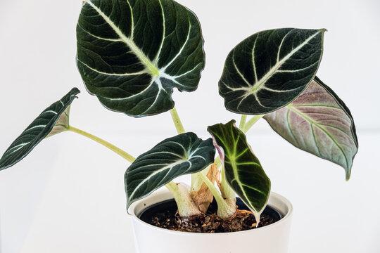 Alocasia reginula 'black velvet' leaf. Tropical potted plant on a white background. Exotic trendy houseplant detail.