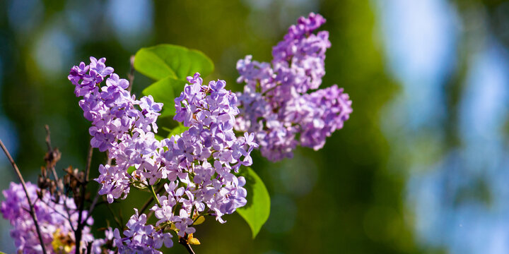 lilac blossom. beautiful scenery in the garden. sunny nature background in springtime