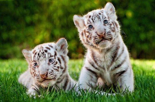 Kitten tiger, Sit on green grass, White tiger.