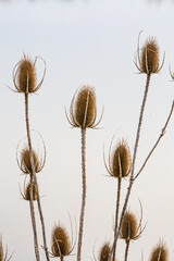 Dry flowers. Dry burdocks or burrs on grey lake waters background. Natural macro photography