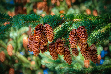 Bumper crop of pine cones this year in Windsor NY