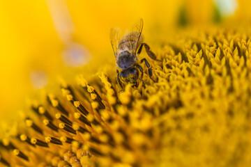 Wall Murals Bee bee on yellow flower