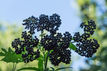 Obraz czarny bez owoce drzewo natura - fototapety do salonu