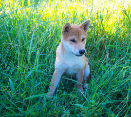 Shiba Inu puppy looks like a little fox