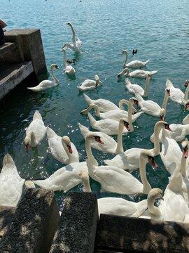 Schwäne Fütterung am Zürcher See in der Schweiz im Sommer