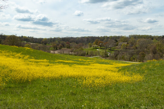 A Beautiful Field of Dense Yellow Flowers Blooming at Stroud Preserve, West Chester, Pennsylvania, USA