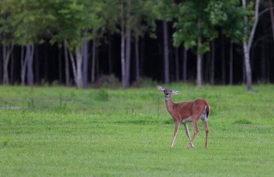 Crooked ear deer